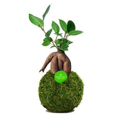 Kogelboom, een duurzame blikvanger